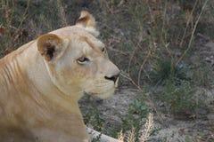 Un león Imagen de archivo libre de regalías