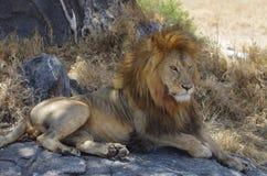 Un león africano Imagen de archivo
