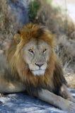 Un león africano Foto de archivo
