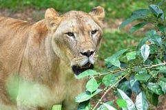 Un león africano femenino Imagenes de archivo