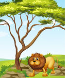 Un león cerca de un árbol grande en las colinas Foto de archivo