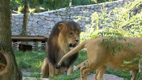 Un león con la tubería enorme entretiene con sus hembras en un parque zoológico almacen de video