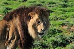 Un león de Kalahari, Panthera leo Imágenes de archivo libres de regalías