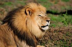 Un león de Kalahari, Panthera leo Foto de archivo