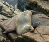 Un león de mar del australiano se reclina sobre las rocas Imagen de archivo