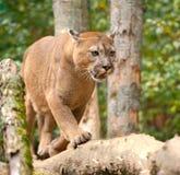 Puma Fotografía de archivo