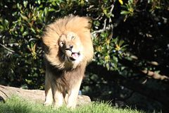 Un león divertido que sacude su melena foto de archivo