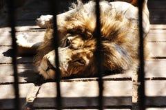 Un león en la jaula foto de archivo libre de regalías