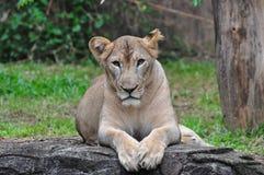 Un león femenino Fotografía de archivo