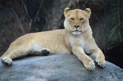 Un león femenino bajo la lluvia