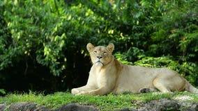 Un león femenino que se sienta que pone en el parque zoológico almacen de video