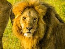 Un león herido Foto de archivo
