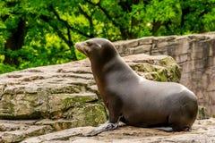 Un león marino Fotografía de archivo libre de regalías