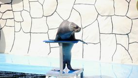 Un león marino entrenado femenino hermoso se realiza en etapa cerca de la piscina Mamíferos del agua almacen de video