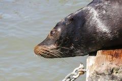 Un león marino está interesado en la mirada abajo de un pontón en el mar Imagen de archivo libre de regalías