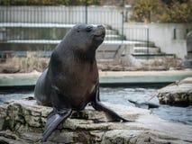 Un león marino meridional masculino en un parque zoológico austríaco imagenes de archivo