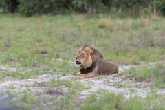 Un león masculino del rugido Fotografía de archivo