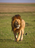Un león masculino grande camina en los llanos azotados por el viento de Kenia Fotografía de archivo