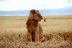 Un león masculino joven Imagenes de archivo