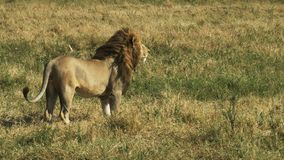 Un león masculino se niega a afrontar la cámara y entonces para y mira algo en masai Mara almacen de video