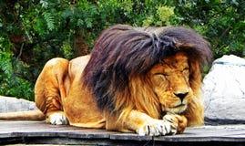 Un león masculino toma una siesta Imágenes de archivo libres de regalías