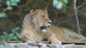 Un león miente en una cueva pedregosa en un parque zoológico almacen de metraje de vídeo