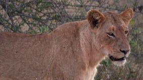 Un león mira la cámara y se va metrajes