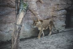 Un león que camina en el bosque fotos de archivo