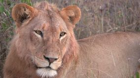 Un león que deriva apagado para dormir almacen de metraje de vídeo