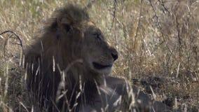 Un león que descansa en la sombra metrajes