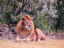 Un león que se relaja en la hierba Imagenes de archivo
