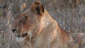 Un león soñoliento despierta almacen de video