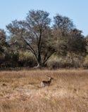 Un lechwe rojo masculino solitario se aísla de su manada y solamente foto de archivo