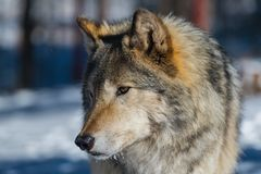 Un legname Wolf Portrait immagini stock libere da diritti