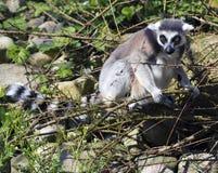 Un lemur munito anello (Lemur Catta) Fotografie Stock