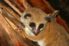 Un lemur nain plus grand Image stock