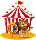 Un león al lado de un aro del fuego en el circo Foto de archivo libre de regalías