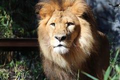 Un leone Fotografia Stock Libera da Diritti