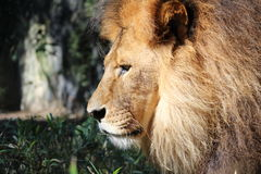 Un leone Immagini Stock