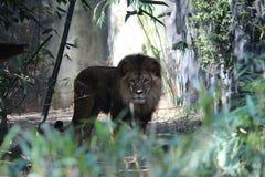 Un leone Fotografie Stock Libere da Diritti