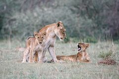 Un leone della madre ed i suoi 2 cuccioli Immagini Stock Libere da Diritti