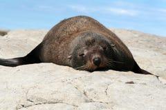 Un leone di mare di sonno che si trova sulla superficie della roccia Fotografia Stock
