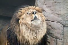 Un leone di urlo Fotografie Stock