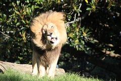 Un leone divertente che scuote la sua criniera fotografia stock