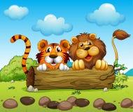 Un leone e nascondersi della tigre Immagini Stock Libere da Diritti