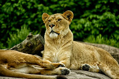 Un leone femminile fotografia stock