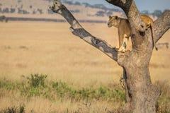 Un leone femminile sta l'orologio in un albero fotografia stock