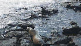 Un leone marino maschio insegue di un maschio introducente indebitamente alle plaze del sud nelle isole di galapagos, Ecuador stock footage
