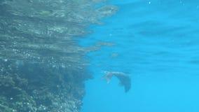 Un leone marino prende un respiro poi si tuffa in profondità al espanola di isla nelle isole di galapagos archivi video