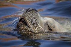Un leone marino respirante Fotografia Stock Libera da Diritti